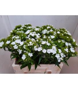 Dianthus barb Aldo White 55 cm