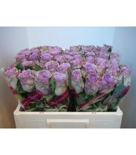 Rose Dolcettoi 50 cm