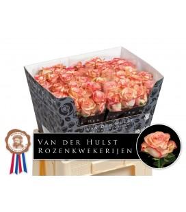 Rose Aprikola 60 cm
