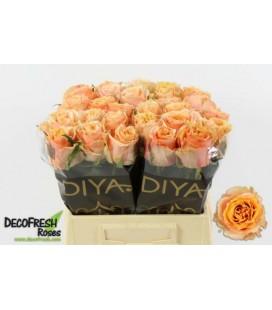 Rose Carpe Diem 40 cm