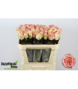 Rose Fiesta 70 cm