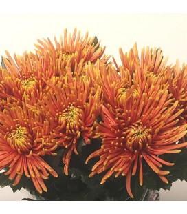 Chrysantheme G Saffina 70 cm