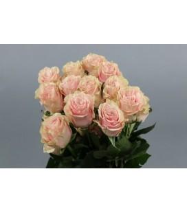 Rose Equateur Salma Li pi  60 cmx25