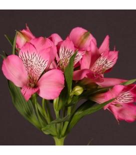 Alstromeria Hot Pink