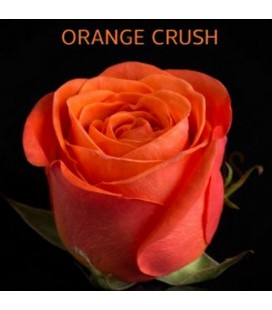 Rose Equateur Orange Crush 50 cm