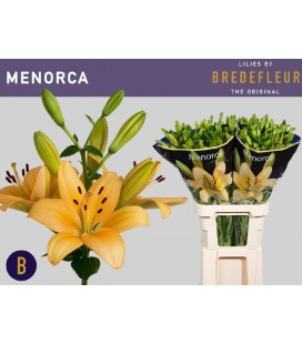 Lys Menorca 95 cm