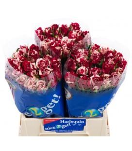 Rose Harlequin 40 cm