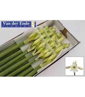 Amaryllis Costa blanca 70 cm