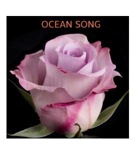 Rose Equateur Océan Song 50 cm