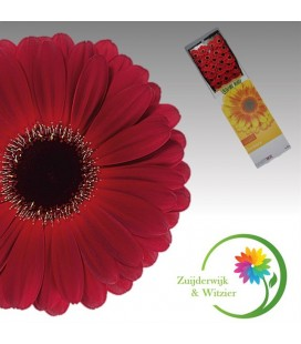 Gerbera Dark Diamond