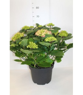 Hortensia Mix pot de 30 /10 fl