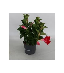 Dipladenia pot 10.5 Rouge