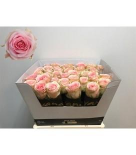 Rose Sweet Surrender 70 cm