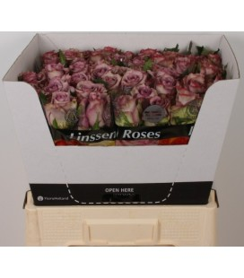 Rose Dolcetto 70 cm