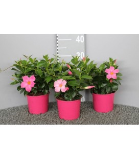 Dipladenia pot de 14 rose