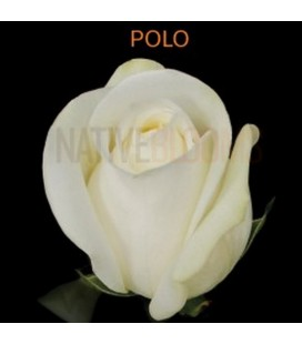 Rose Equateur Polo 50 cm