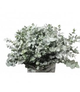 Eucalyptus Cinéréa