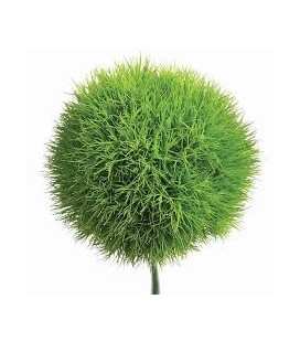 Dianthus Green Tricks 45 cm