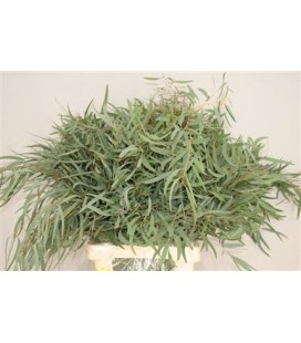 Eucalyptus Nicolii