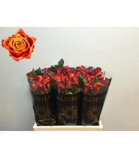 Rose Atomic 50 cm