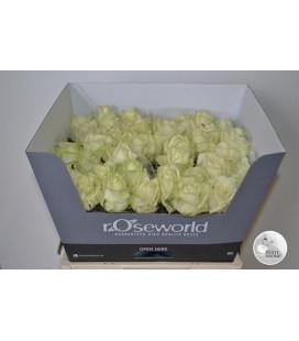Rose White Naomi 55 cm