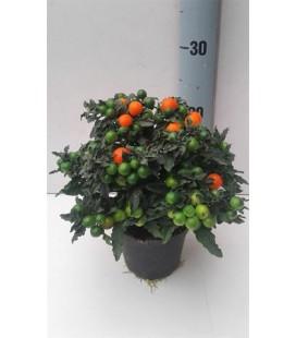 Solanum supreme pot de 13