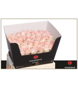Rose Lovely Dolomit  55 cm