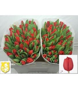 Tulipe Escape