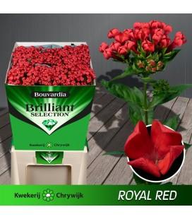 Bouvardia Red