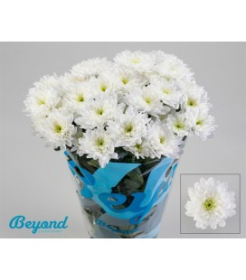 Chrysantheme Baltica