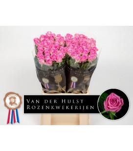 Rose Aqua 70 cm