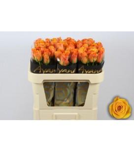 Rose Tycoon 70 cm