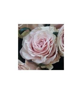 Rose Equateur  Pink Mondial 60 cm