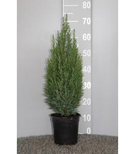 Ellwoodii pot de 17 H 55 cm