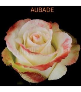 Rose Equateur  Aubade 50 cm