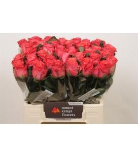 Rose Pink Tacazzi 50 cm
