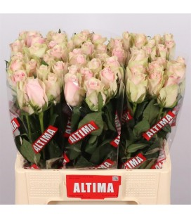 Rose Pink Athena 60 cm