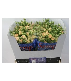 Rose Branchue Romantic PePita 60 cm