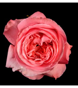 Rose Equateur Xpression 50 cm