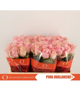 Rose Pink Avalanche 55 cm