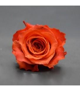Roses Tabasco 50 cm
