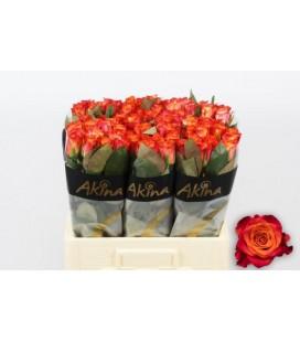Rose Mario 50 cm