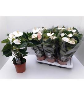Anthurium adio White pot de 17