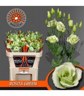 Lisianthus Rosita Green