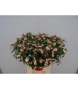 Euphorbe rose 75 cm