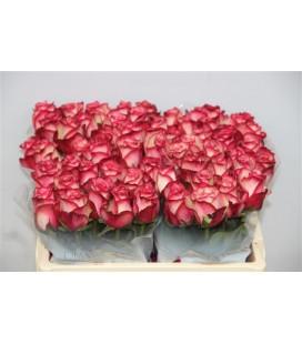 Rose Paloma 50 cm